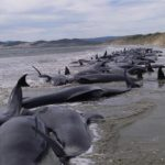 خودکشی ۱۵۰ نهنگ در سواحل استرالیا