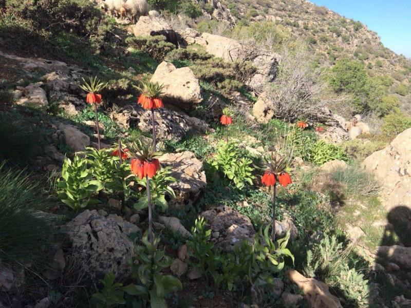 رویش گل لاله واژگون در کوه های ماهیدشت (چهارزبر – کور کور)