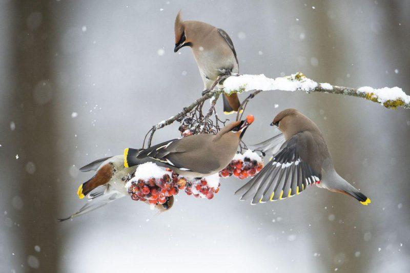 عکس روز نشنال جئوگرافیک(پرندگان بال لاکی)