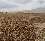 برداشت بیش از ۲۰۰ هزار تن چغندر قند در اسلام آبادغرب