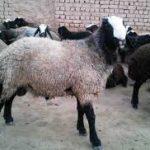 خروج دام زنده از استان کرمانشاه با مجوز دامپزشکی امکان دارد
