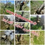 تیشه به ریشه درختان بلوط پیکوله از توابع شهرستان گیلانغرب+تصاویر