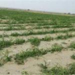 خسارت ۳۷ هزار و۳۵۰ میلیون ریالی سیل به بخش کشاورزی اسلام آبادغرب