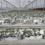 بزودی ۵ هزار متر مربع از گلخانه مدرن اسلام آبادغرب افتتاح می شود