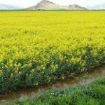 کرمانشاه قطب کشاورزی کشور است /خرید ۲۰۰۰ تن کلزا از کشاورزان