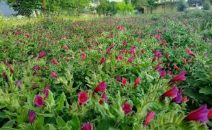 کاشت گیاهان دارویی در ۳۳۰۰ هکتار از اراضی ملی کرمانشاه