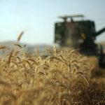استان کرمانشاه در جایگاه چهارم برداشت گندم کشور قرار دارد